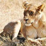 Serengeti #lioness #serengetinationalpark #africa #tanzania #amazing #scenic #animal #bigfive #feline #africanwalkingcompany #danajwentzel