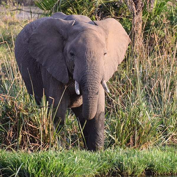 elephant near watering hole