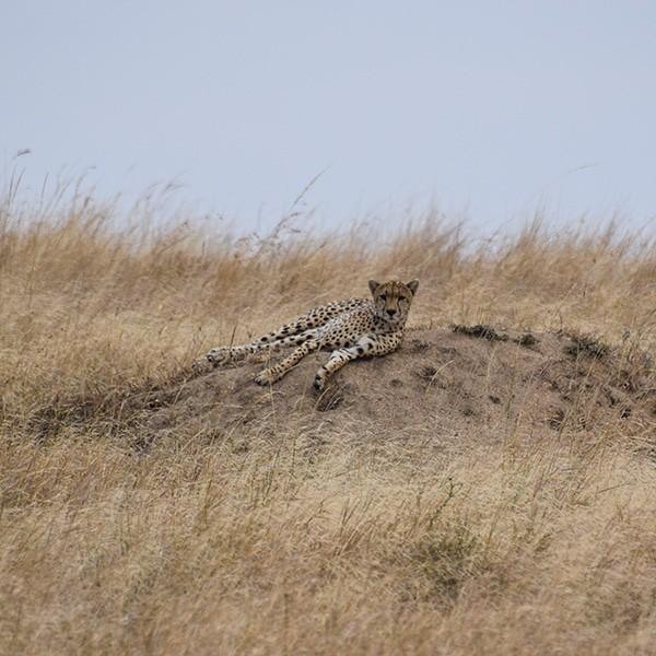 cheetah serengeti