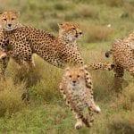 gallery-cheetahs-1024x742