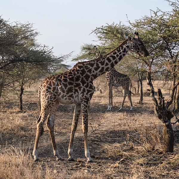maasai giraffe serengeti