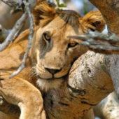 climbing lion