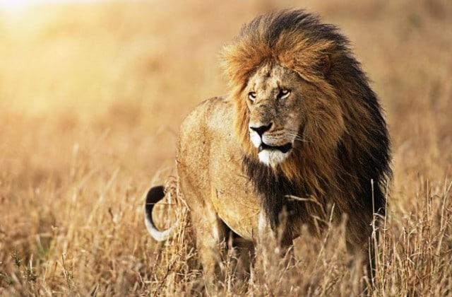 male-lion-660-e1453059860677