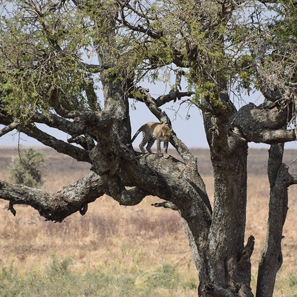 leopard serengeti safari
