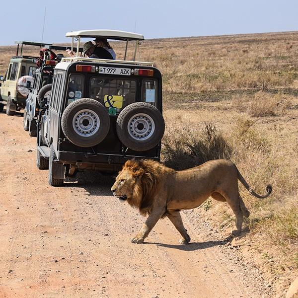 male lion african safari