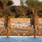 tarangire-giraffe