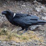 white-necked-raven