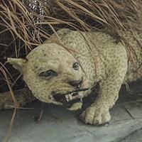 zanzibar leopard